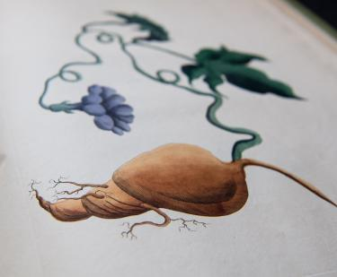 Detail of an engraved, hand colored full-page illustration shows a yam.