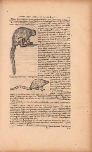 printed text in Latin with images of two kinds of marmosets