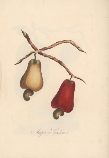 hand-colored engravings of cashews