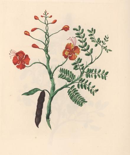 hand colored engraving of a prickly tropical shrub