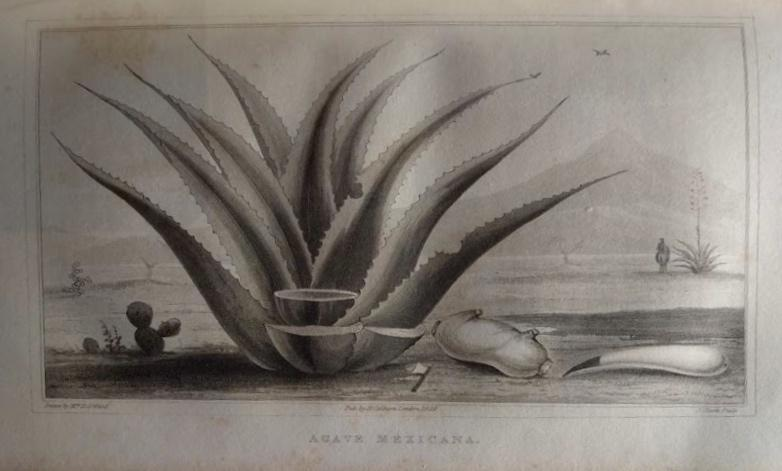 Emily Ward's illustration of the Agave Americana