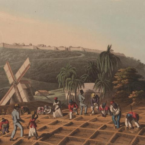scene of sugar cane planting
